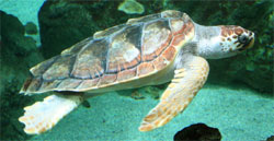 Logger head sea turtle (caretta caretta)